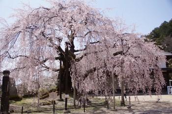 飯田市麻績の里舞台桜1.jpg